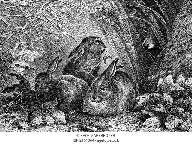 Fox watching hares, historical engraving, 1869