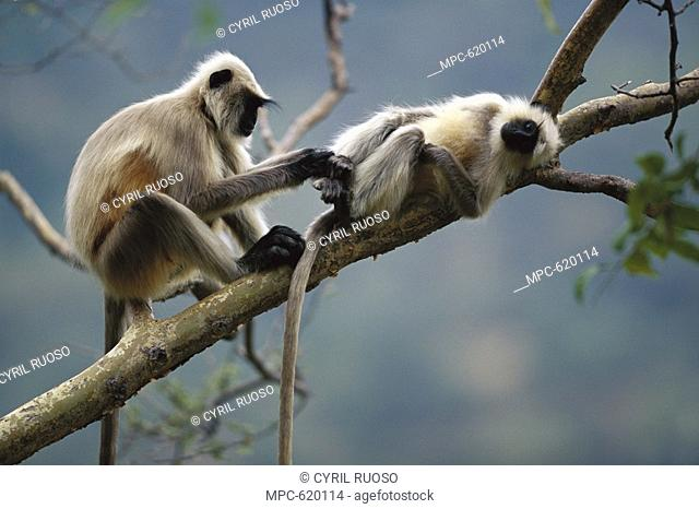 Hanuman or Grey or Common Langur Semnopithecus entellus, pair grooming, Ranakpur Forest, Rajasthan, India