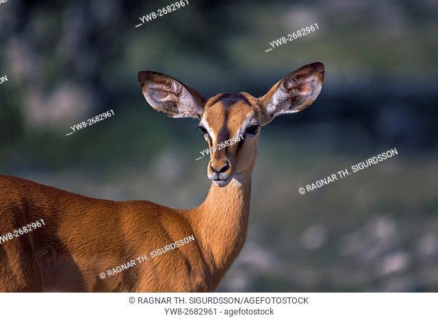 Springbok, Etosha National Park, Namibia, Africa