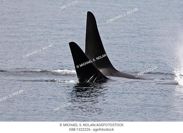 A gathering of several Orca Orcinus orca pods in Chatham Strait, Southeast Alaska, USA  Pacific Ocean  These animals numbered in the many tens