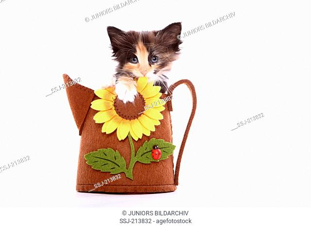 Norwegian Forest Cat. Kitten (6 weeks old) sitting a felt bag in the shape of a watering can with sunflower. Studio picture against a white background