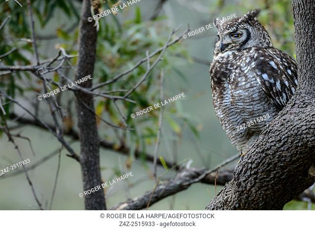 Spotted eagle-owl (Bubo africanus). Kirstenbosch Gardens. Cape Town. Western Cape. South Africa
