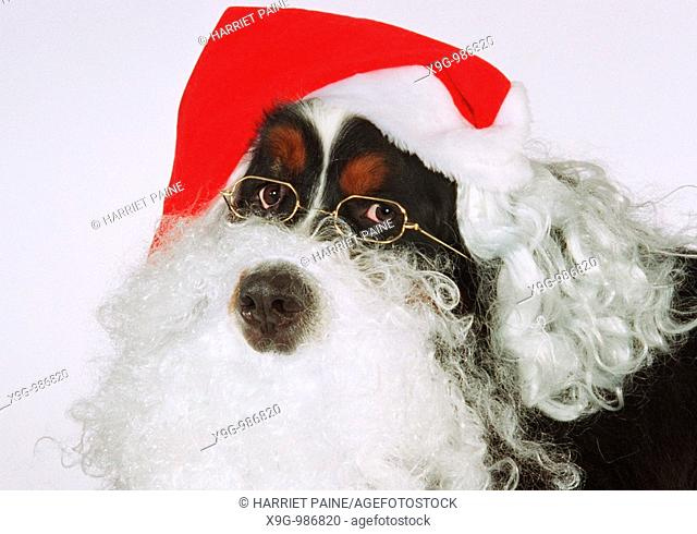 Bernese Mountain Dog with Santa Claus beard and hat