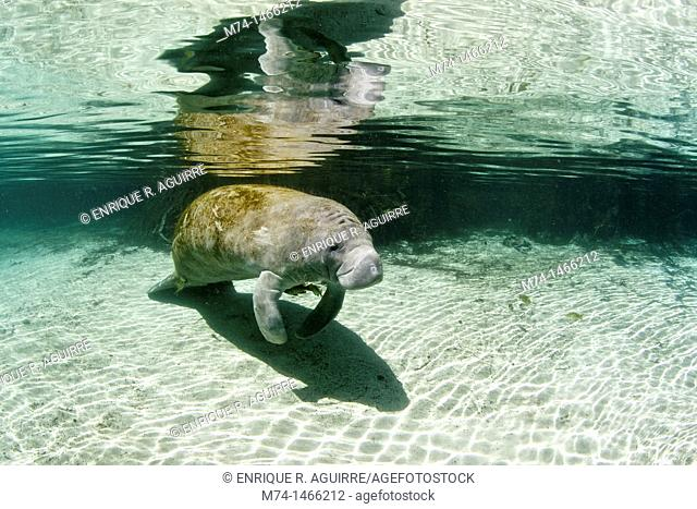 West Indian/Florida Manatee Trichechus manatus latirostris, Florida The Florida manatee subspecies is listed as Endangered on the basis of a population size of...