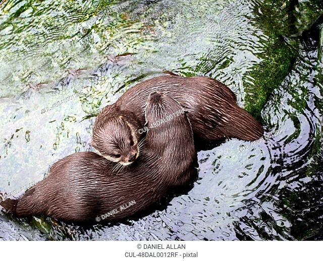 Otters playing in river