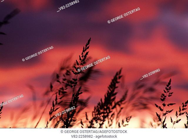 Grass sunset, Whitman County, Washington