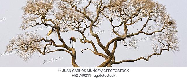 Jabiru (Jabiru mycteria), Pantanal Matogrossense National Park. Mato Grosso, Brazil