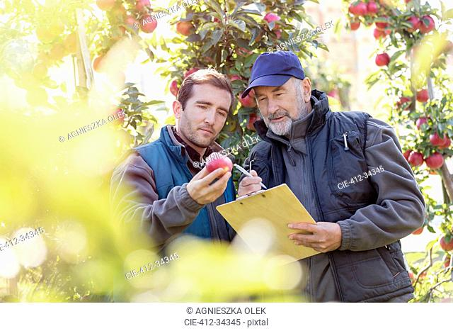 Male farmers with clipboard examining red apple in orchard
