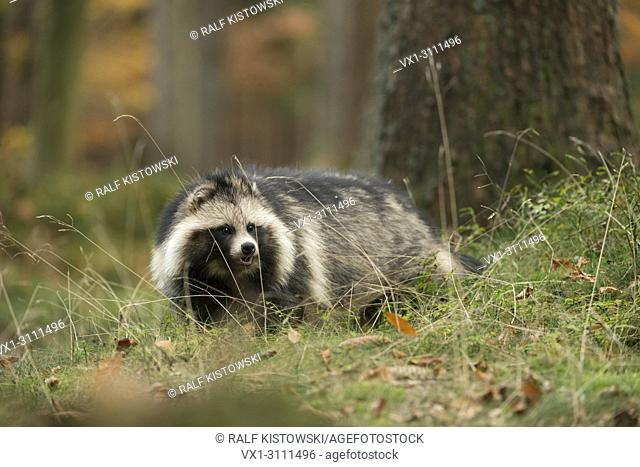 Raccoon dog / Marderhund ( Nyctereutes procyonoides ) sneaks through a forest, invasive species in Europe, golden October.