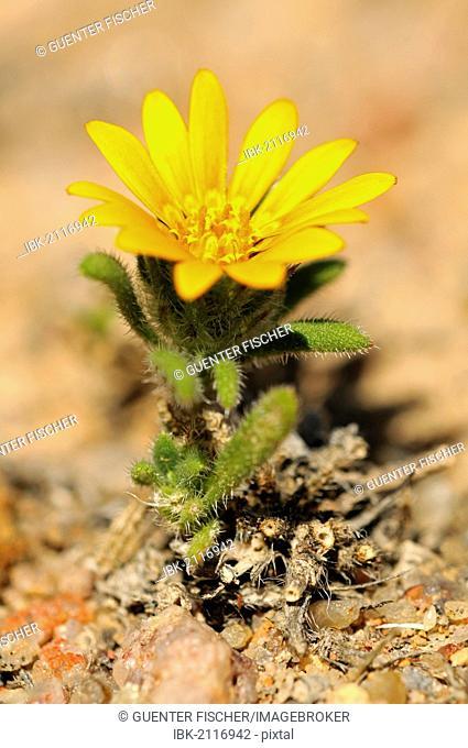 Arctotis sp., Richtersveld Transfrontier National Park, South Africa