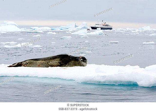 Leopard seal Hydrurga leptonyx lying on an ice floe with a ship in the background, Antarctica