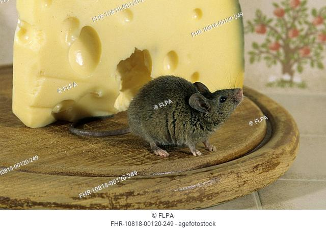House Mouse Mus musculus On cheese board