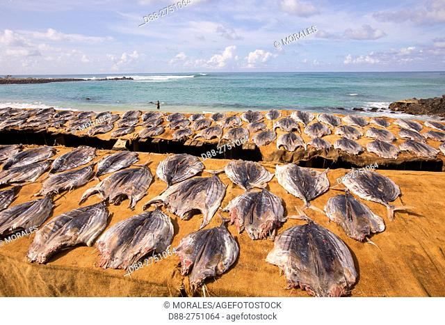 Asia, Sri Lanka, Indian Ocean, Weligama, fishing village, Skipjack tuna (Katsuwonus pelamis), drying on stilts on the beach