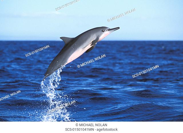 Young Hawaiian Spinner Dolphin Stenella longirostris leaping in the AuAu Channel between Maui and Lanai, Hawaii, USA Pacific Ocean Restricted Resolution - pls...