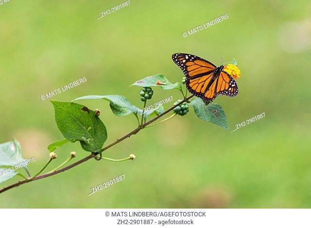 Viceroy Butterfly, Limenitis archippus sitting on a flower, Laguna del Lagarto, Boca Tapada, San Carlos, Costa Rica