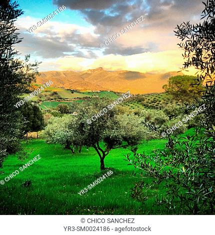 Sunset over an olive orchard in Prado del Rey, Sierra de Grazalema, Andalusia, Spain