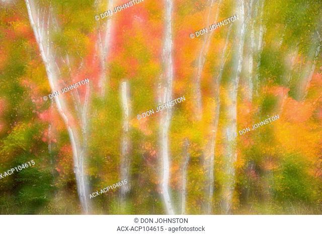 Birch woodland with autumn maple trees, Greater Sudbury, Ontario, Canada