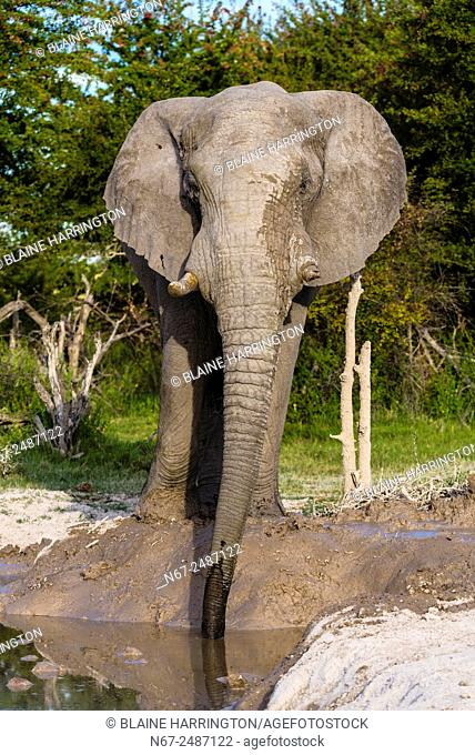 An elephant with one tusk (they often break them digging) after taking a mud bath to cool off, Nxai Pan National Park, Botswana