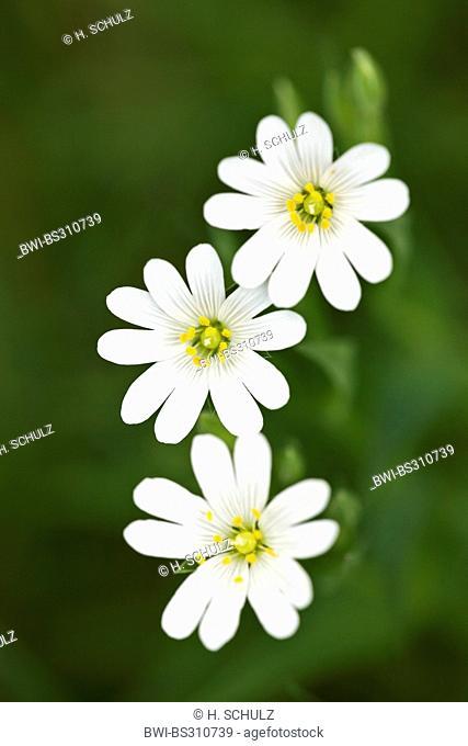 easterbell starwort, greater stitchwort (Stellaria holostea), flowers, Germany, Schleswig-Holstein