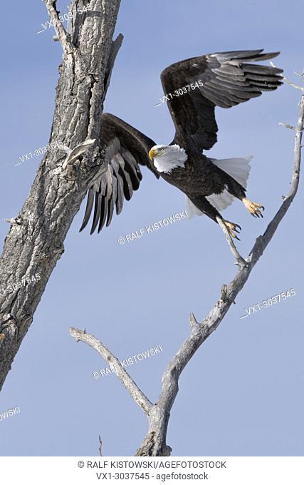 Bald Eagle / Weisskopfseeadler ( Haliaeetus leucocephalus ) on a nice winter day, taking off from a cottonwood tree, wildlife, Yellowstone, Montana, USA