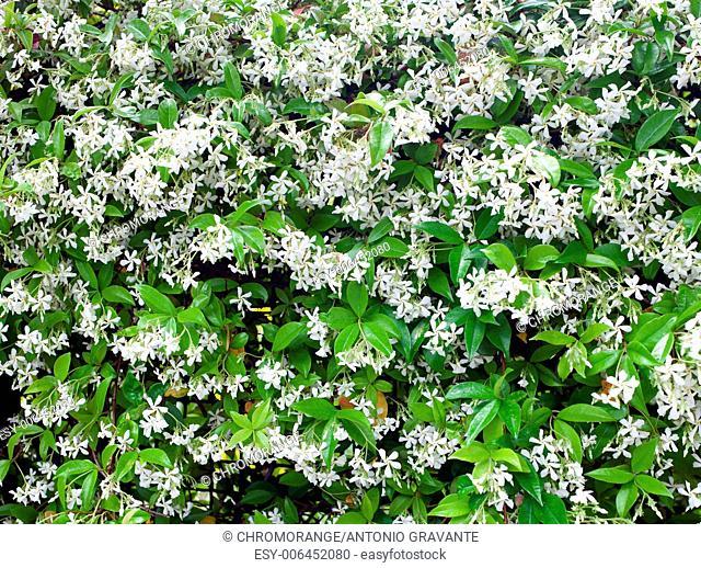 Group of white Sampaguita Jasmine or Arabian Jasmine flower