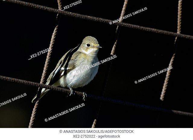 Collared Flycatcher (Ficedula albicollis), Crete