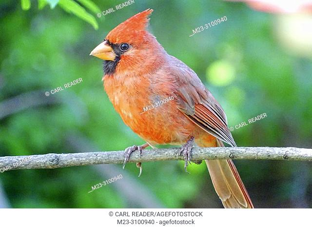 A male northern cardinal, cardinalis cardinalis, Pennsylvania, USA