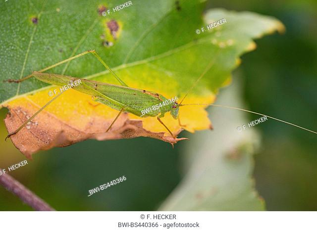 Sickle-bearing Bush-cricket, Sickle-bearing Bush cricket (Phaneroptera falcata), male on a leaf, side view, Germany