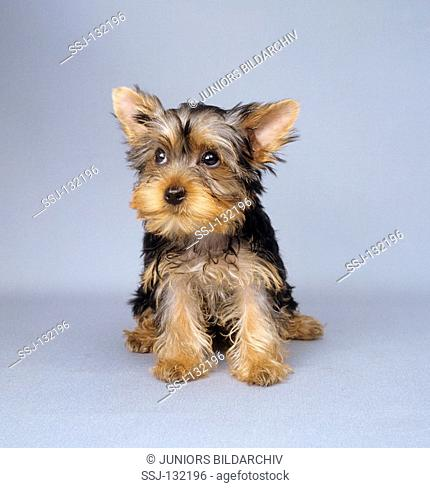 Yorkshire Terrier puppy - sitting - cut out restrictions:Tierratgeber-Bücher / animal guidebooks, puzzles worldwide, mobile phone content worldwide