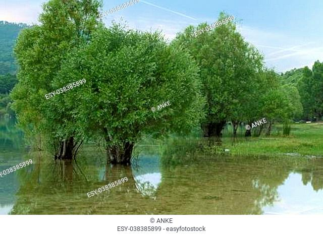Old trees standing in the water of Lake Sainte Croix in Provence, France