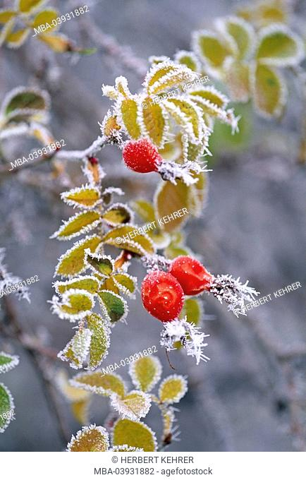 rosehip, frost