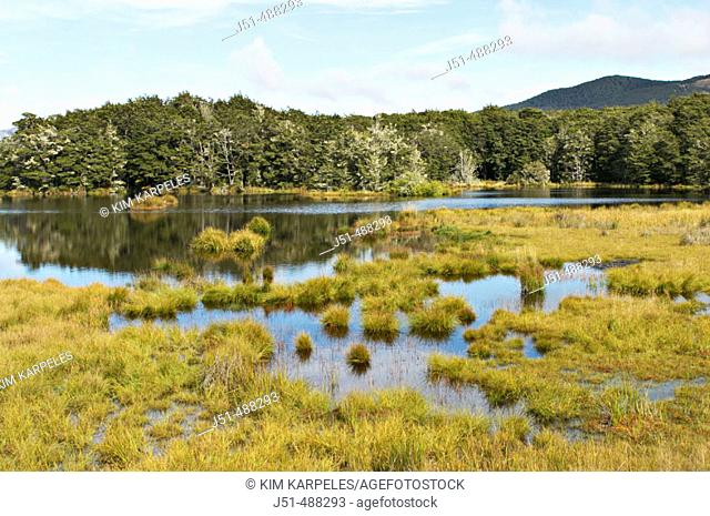 New Zealand. South Island. Mavora Lakes Park, tussock grasslands, pine trees, mountains in distance