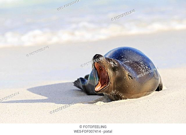 Ecuador, Galapagos Islands, Espanola, Gardner Bay, yawning sea lion lying on sandy beach at seafront