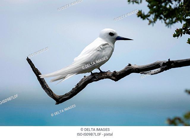 White tern perched on tree branch, Tikehau, Bird Island, Tuamotu Archipelago, French Polynesia