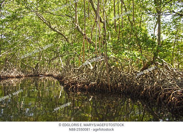 Red Mangrove, Venezuela