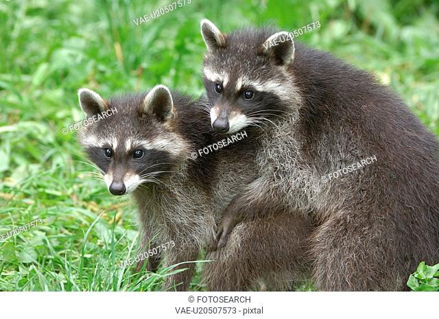 huwiler, arth, goldau, couple, canton, nature, animal