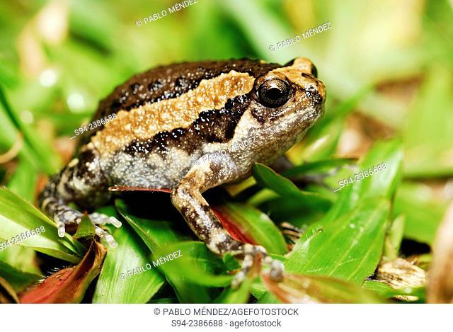 Banded bullfrog (Kaloula pulchra) in a garden of Cherating, Pahang, Malaysia
