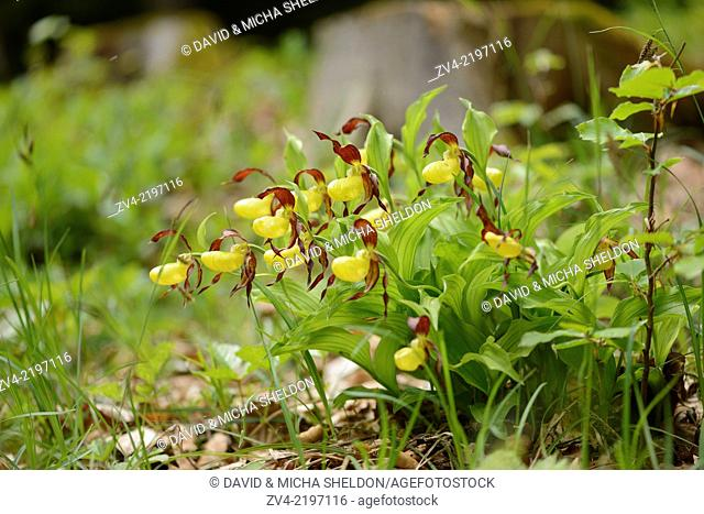 Close-up of lady's-slipper orchid (Cypripedium calceolus) blossoms in a forest in spring, Upper Palatinate, Germany