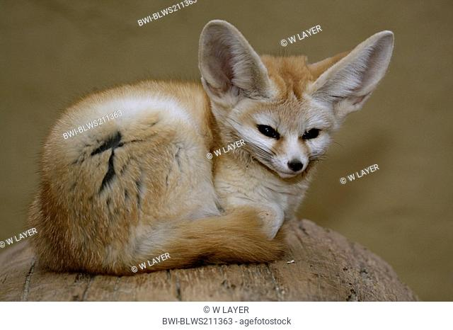 fennec fox Fennecus zerda, Vulpes zerda, lying on a log