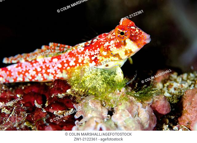 Moyer's Dragonet (Synchiropus moyeri) at Gereja Tua dive site off Pura Island near Alor in eastern Indonesia