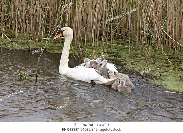 Mute Swan (Cygnus olor) adult female and cygnets, swimming, Suffolk, England, UK, May
