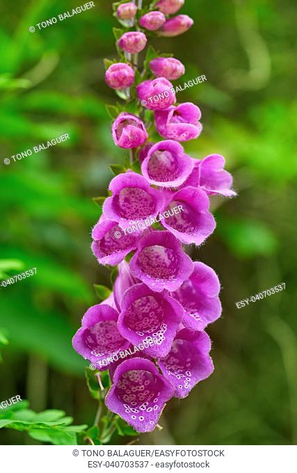 Dedalera flower Digitalis purpurea pink from Asturias in Spain