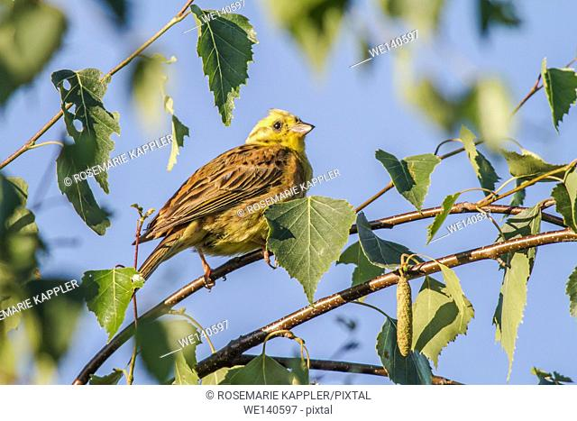Germany, Saarland, Homburg, A yellowhammer is sitting on a branch between some leafs