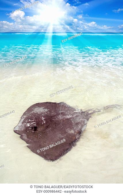 southern stingray Dasyatis americana in Caribbean beach Contoy Mexico