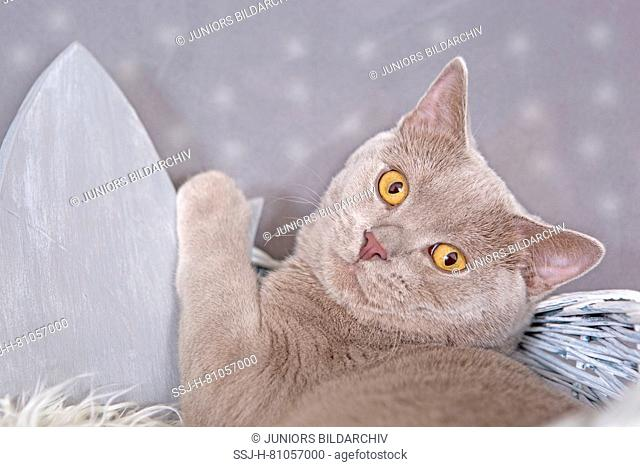 British Shorthair. Lilac tomcat (7 month old) lying in a basket next to a wooden crown. Germany