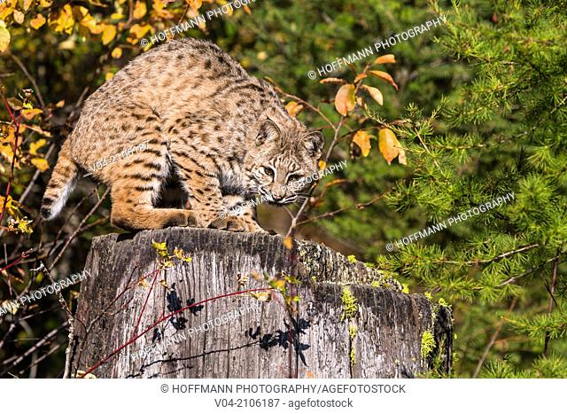 Adult Bobcat (Lynx rufus) in the forest, captive, Montana, USA