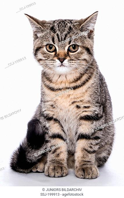 British Shorthair cat. Tabby kitten (3 month old) sitting. Studio picture against a white background. Germany