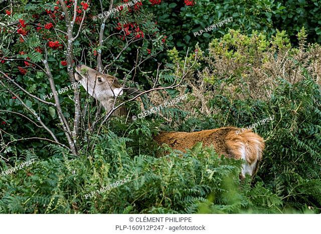 Red deer hind (Cervus elaphus) feeding on rowan / mountain-ash (Sorbus aucuparia) in brushwood