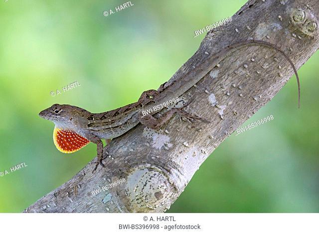 Brown anole, Cuban anole (Anolis sagrei, Norops sagrei), male displaying its dewlap, USA, Florida, Kissimmee