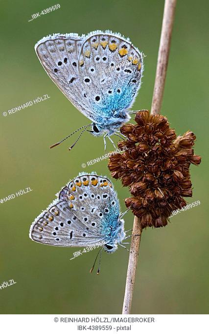 Common Blue (Polyommatus icarus) on flower, Burgenland, Austria
